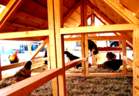 Big And Portable Chicken Coop With Cedar Roof For 30 To 48